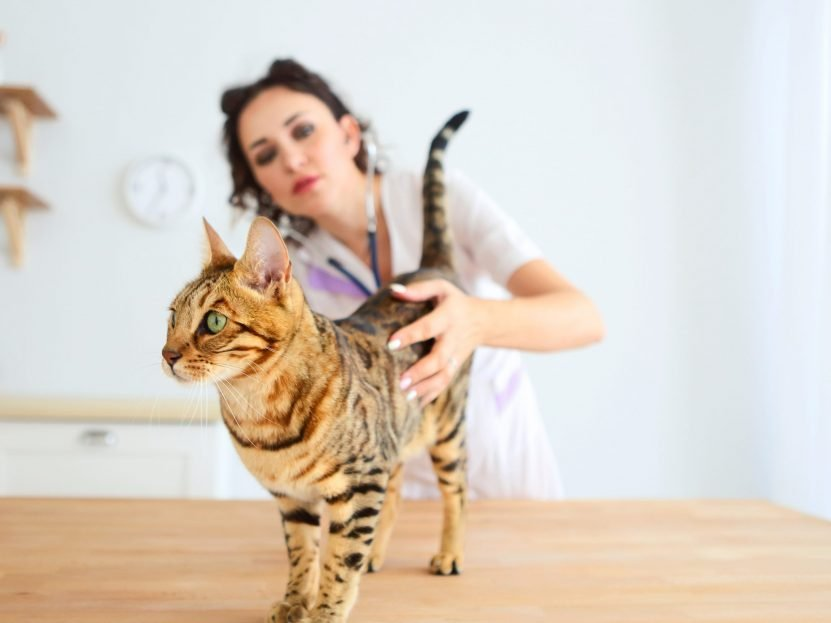 Why Sterilize All Bengal Kittens